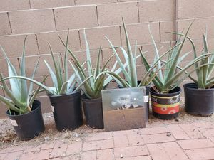 6 Large Aloe Plants- All For $18 (That's $3 Each)! for Sale in Phoenix, AZ