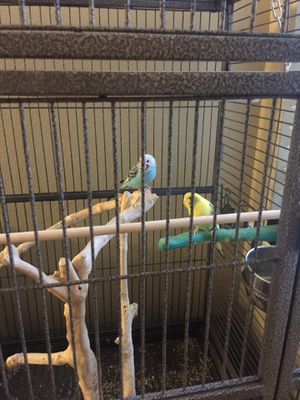 Big cage and 2 parakeets birds for Sale in Tracy, CA