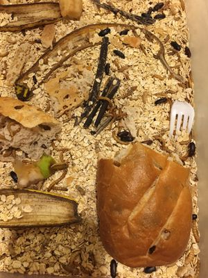 Free Mealworms habitat for Sale in Everett, WA