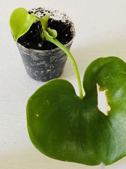 Rare Philodendron Grazielae Rooted + New Growth for Sale in San Francisco,  CA