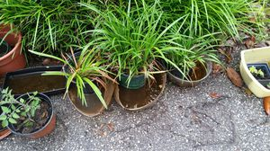 15 pots of blue lirope perennials for Sale in Severna Park, MD