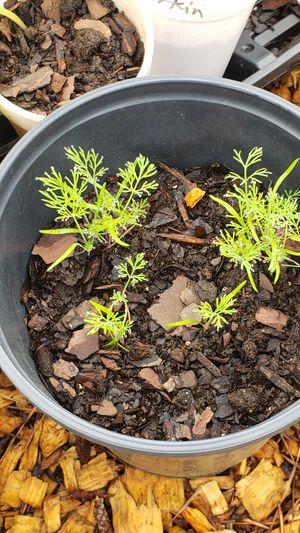 Dill/herb plants for Sale in Alpharetta, GA