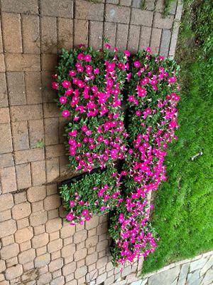 Petunia carpet rose for Sale in Garland, TX