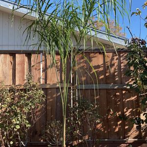 Queen Palm Tree For Sale!! (9 Foot Tall)!! for Sale in Concord, CA