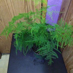 "Beautiful Plumosa 6"" for Sale in Woodburn, OR"