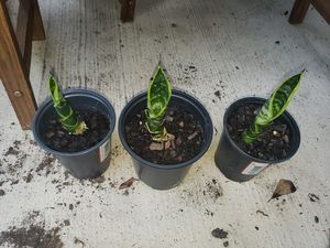 3 Snake Plants for Sale in Fruit Cove, FL