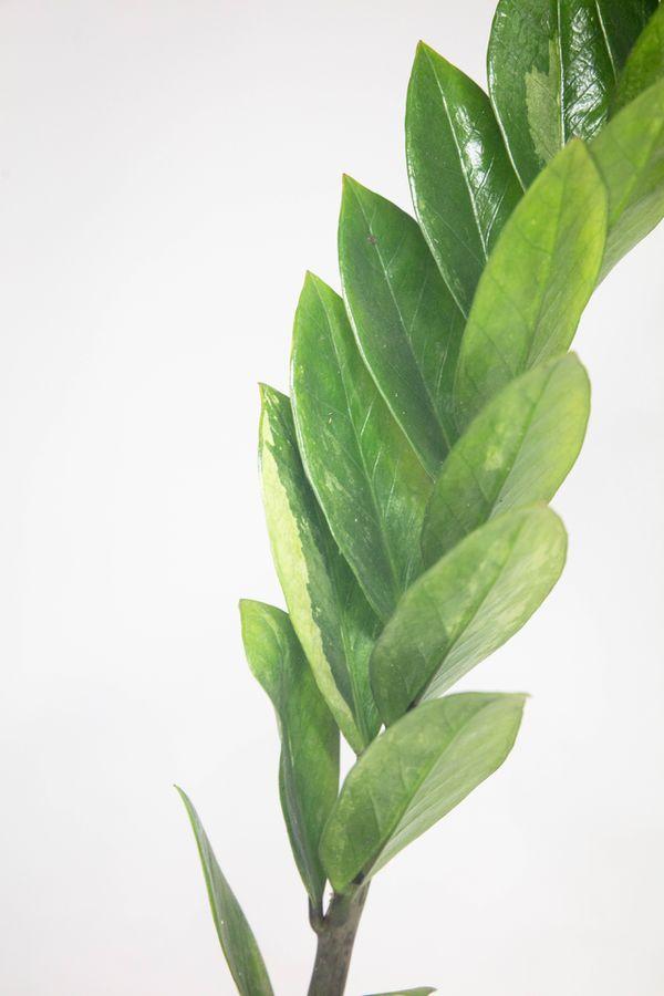 "Mint Variegated zz plant 6"" pot"