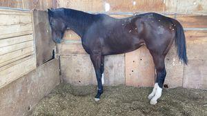 Horse toro bred for Sale in Phoenix, AZ