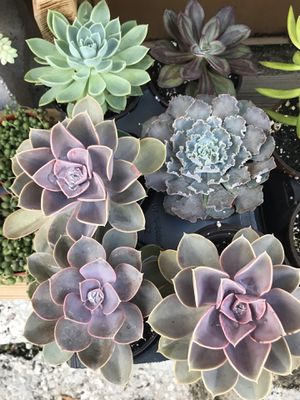 Assorted succulents for Sale in Miami, FL