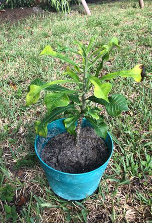 Plumeria Pudica plant for Sale in Hialeah, FL