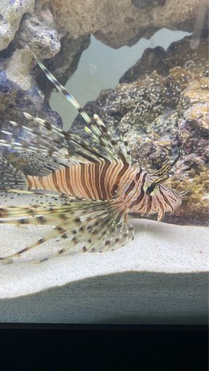 Lion fish for Sale in Fontana, CA