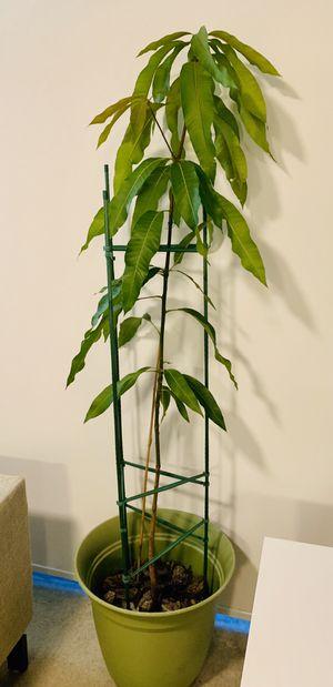 Mango tree 7 ft for Sale in Miami, FL