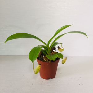 """2"""" Nepenthes Pitcher Plant for Sale in San Francisco, CA"""