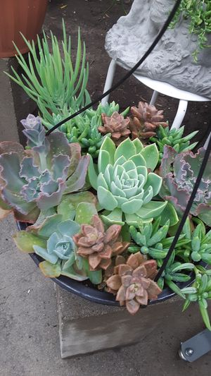 Hanging basket with succulent plants for Sale in Whittier, CA