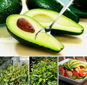 Avocado grafted trees in 3 gal arboles de aguacate injertado en 3 gal for Sale in Delray Beach, FL