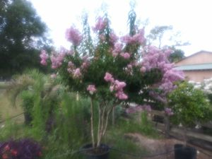 Crepe myrtle trees delivered and planted 10 foot tall for Sale in Tampa, FL