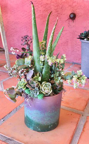 "Aloe Vera & 'Kent's Beauty' Ornamental Oregano Succulent Arrangement 6"" Cylindrical Planter for Sale in Hanford, CA"