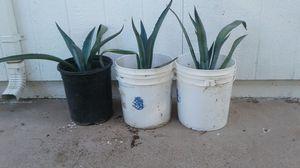 Agave magey plantas 10 cada uno for Sale in Phoenix, AZ