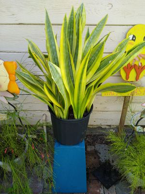 Sansevieria Yellowstone plant for Sale in Orange, CA