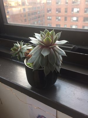 Succulent plant for Sale in New York, NY