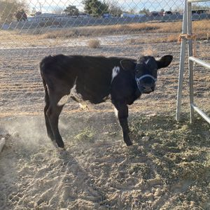 Calf for Sale in Littlerock, CA