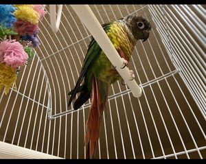 a parrot for Sale in Sacramento, CA