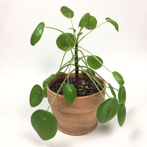 Large Chinese Money UFO Plant Pilea Peperomioides for Sale in Tustin, CA
