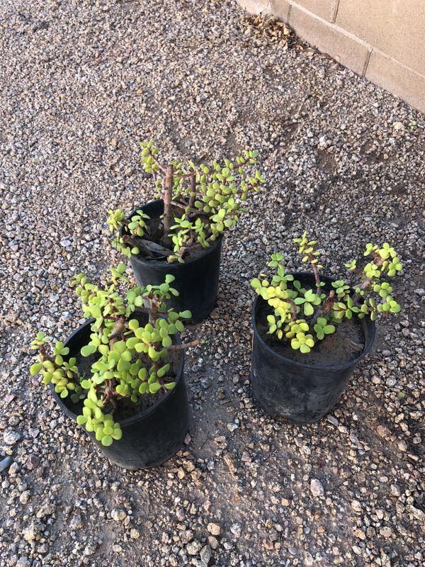 Jade elephant succulent plants three dollars each
