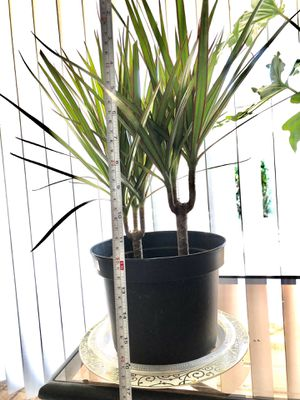 Healthy Indoor Plant 2 plants in a pot-$30 for Sale in Fontana, CA