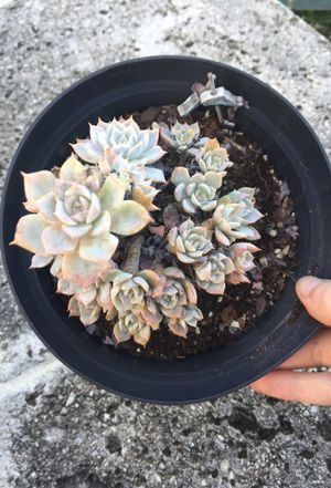 Succulent plant for Sale in Cutler Bay, FL