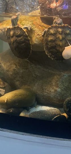 Free Red Ear Slider Turtles About 2 1/2 To 3 Inch Long Comes With 10 Gal Tank for Sale in Jonesboro,  GA