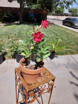 Dessert Rose Bonsai Style with Red color Rose for Sale in Visalia, CA