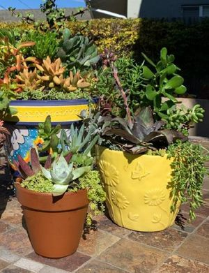 Succulents for Sale in Fresno, CA