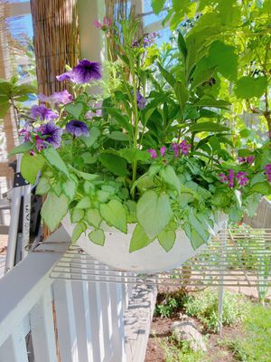 Petunia Hanging Pot with Heliotrope Flower for Sale in Vancouver, WA