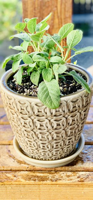 Live outdoor or indoor Berggharten Sage herb plant in a textured ceramic planter flower pot w/ base for Sale in Seattle, WA