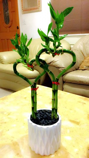 Live BAMBOO - Forever Love Bamboo - $13 each for Sale in Garden Grove, CA