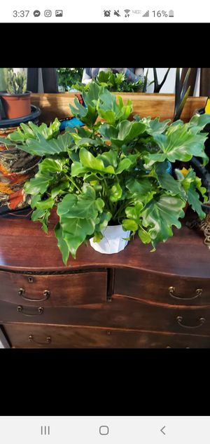 Large beautiful philodendron selloum lacy for Sale in Stanwood, WA
