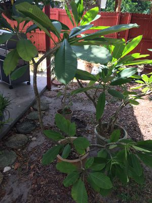 Plumeria plants in pots, for Sale in St. Petersburg, FL