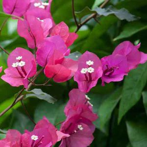 """72""""x55"""" Giant Homegrown Queen Of Tropical Natives Gorgeous Blooming Bougainvillea Alive PLANT Tree for Sale in Austin, TX"""
