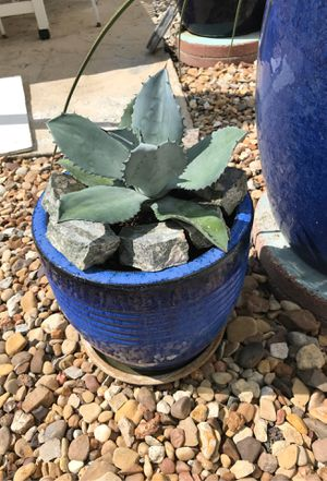 Agave plant for Sale in Dallas, TX