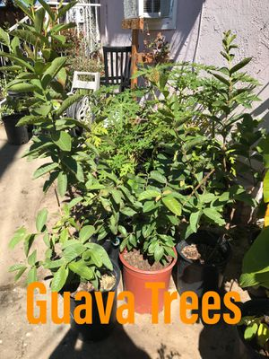 Guava trees for Sale in National City, CA