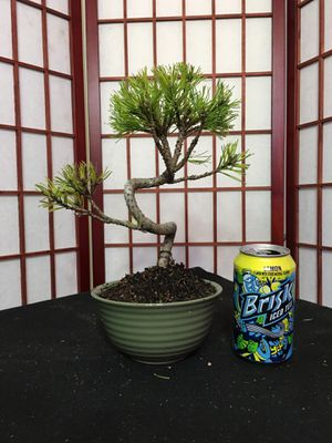 Bonsai: Mugo pine for Sale in Malden, MA
