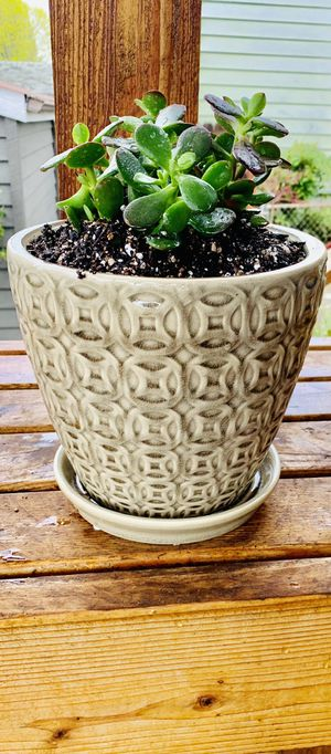 Live indoor Jade house plant in a textured ceramic planter flower pot with attached base—firm price for Sale in Seattle, WA