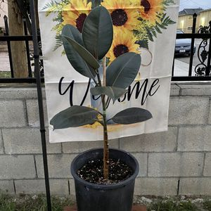 Burgundy Rubber Plant/ Tree for Sale in Westminster, CA