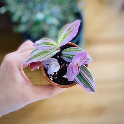 """Tradescantia Nanouk Wandering Jew Pink Lilac Plant 2.5"""" for Sale in Los Angeles,  CA"""