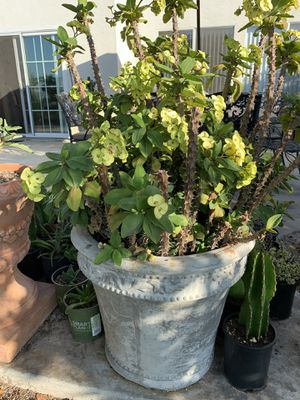 Mature crown of thorns plant for Sale in Spring Valley, CA
