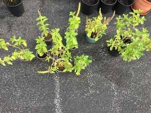 Holy Basil ( Tulsi) for Sale in West Chester, PA