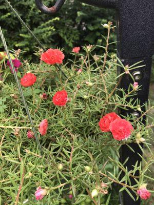 Salmon Flor / Chismes / Amor de un Rato / Purslane / Moss Rose for Sale in Dallas, TX