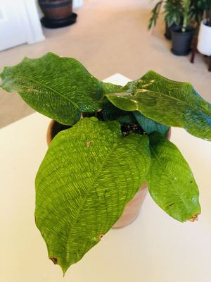 "Rare Calathea, Calathea Musaica (Network), in 4"" Terra-Cotta Pot, Houseplants, hard to find for Sale in Sterling Heights, MI"