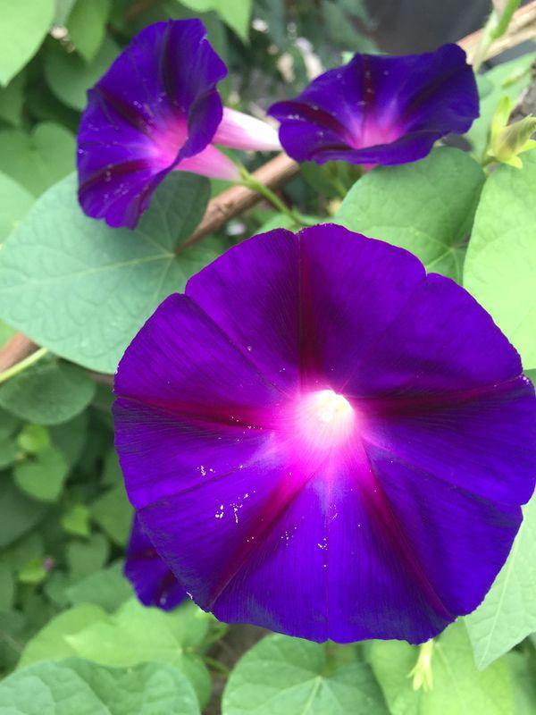 Glory night flowers plants